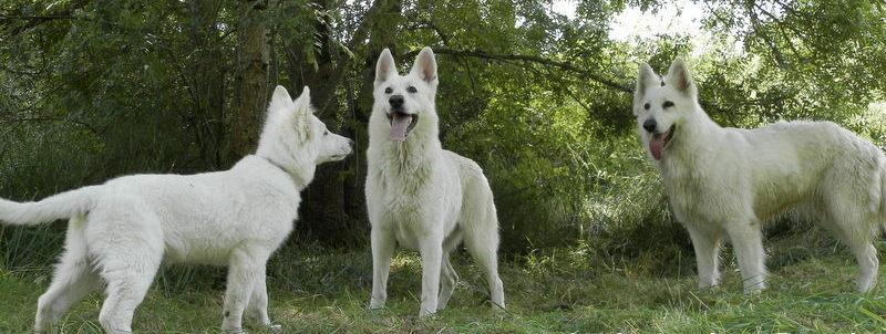 Bergers blancs navaro